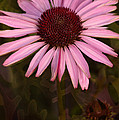 Coneflower And Dusty Miller by Lesa Fine