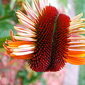 Coneflower Bloom Unspiraling by Elaine Duras