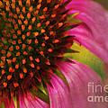 Coneflower by Darren Fisher