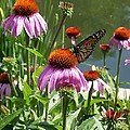 Coneflower With Butterfly by Laurie Eve Loftin