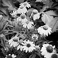 Coneflowers Echinacea Rudbeckia Bw by Rich Franco