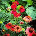 Coneflowers Echinacea Rudbeckia by Rich Franco