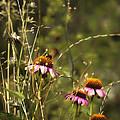 Coneflowers Weeds And Bee by Belinda Greb