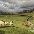 Coniston Sheep  by Rob Hawkins