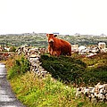 Connemara Cow by Charlie and Norma Brock