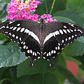 Constantines Swallowtail by Judy Whitton