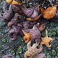 Starfish Constellation by Rick Pisio