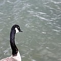Canadian Goose Contemplating A Swim  by Gothicrow Images