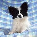 Continetal Toy Spaniel Or Papillon Dog by John Daniels