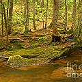 Cook Forest Rocks And Roots by Adam Jewell