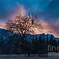 Cooks Meadow Oak At Sunset by Dan Hartford