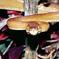 Cook's Tree Boa by Dr Morley Read/science Photo Library