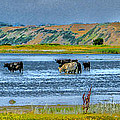 Cool Cows by Kim Lessel