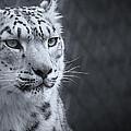 Cool Leopard by Chris Boulton