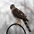 Coopers Hawk by Jackson Pearson