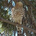 Cooper Hawk See Me by Davon Duncan