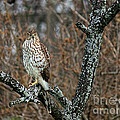 Coopers Hawk 0745 by Jack Schultz