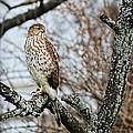 Coopers Hawk 0748 by Jack Schultz