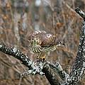 Coopers Hawk 0750 by Jack Schultz