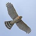 Coopers Hawk by David Gardner