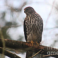 Cooper's  Hawk Dines Here by Kym Backland