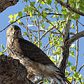Cooper's Hawk In A Cottonwood by Kathleen Bishop