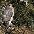 Coopers Hawk In Predator Mode by Debbie Oppermann