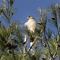 Coopers Hawk In Tree by Linda Brody