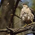 Coopers Hawk Pictures 124 by World Wildlife Photography
