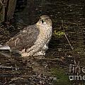 Coopers Hawk Pictures 135 by World Wildlife Photography