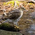 Coopers Hawk Pictures 61 by World Wildlife Photography