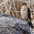 Coopers Hawk Pictures 91 by World Wildlife Photography