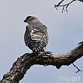 Cooper's Hawk  by Ruth  Housley
