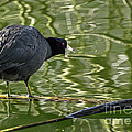Coot Calling by Kate Brown