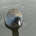 Coot Portrait by Nicki Bennett