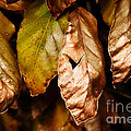 Copper Beech Leaves by Susie Peek