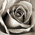 Copper Rose by Jackie Farnsworth
