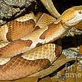Copperhead Snake by Millard H. Sharp