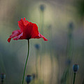 Coquelicot Impression by Mike Reid