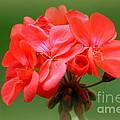 Coral Geraniums by Patti Whitten
