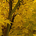 Coral Maple Fall Color by Mick Anderson