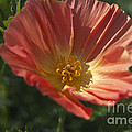 Coral Poppy 1 by Steve Purnell