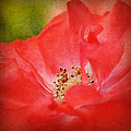 Coral Rose by Kelly Nowak