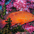 Coral Trout In Similan Islands by Roy Bendell