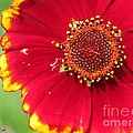 Coreopsis Or Golden Tickseed by J McCombie