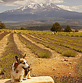Corgi And Mt Shasta by Mick Anderson