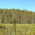 Corkscrew Swamp 1 by Nancy L Marshall