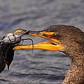 Cormorant Catching Catfish by Bruce J Robinson