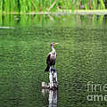 Cormorant Chilling by Al Powell Photography USA