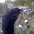 Cormorant Close-up by Peggy King